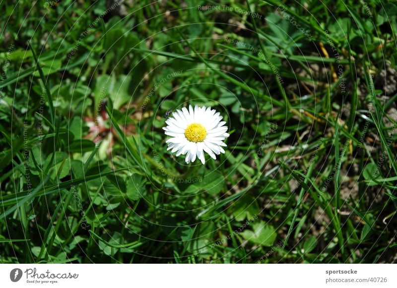 Nature Flower Spring Daisy