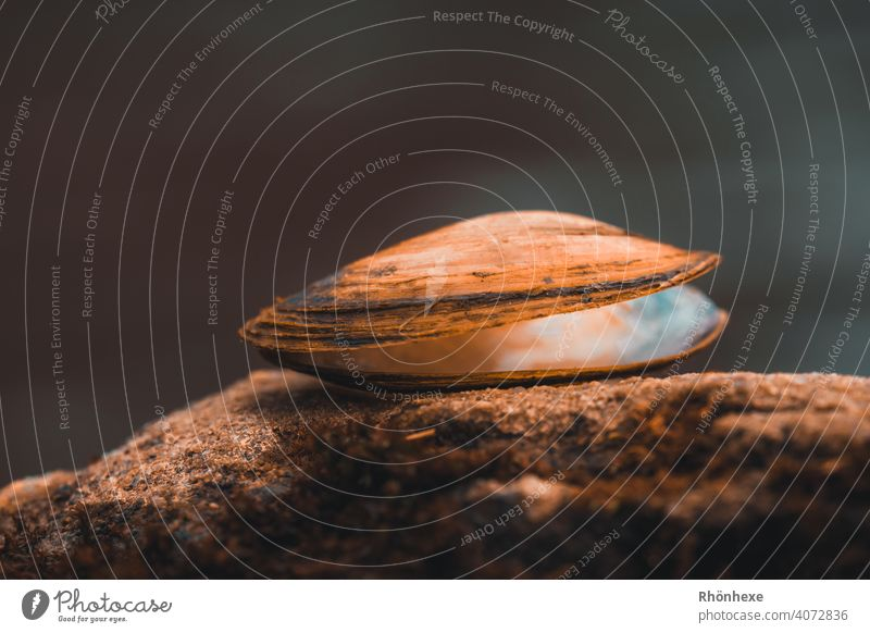 Mussel in delicate light on a stone Colour photo Deserted Exterior shot Mussel shell Close-up Macro (Extreme close-up) Subdued colour Vacation & Travel Day