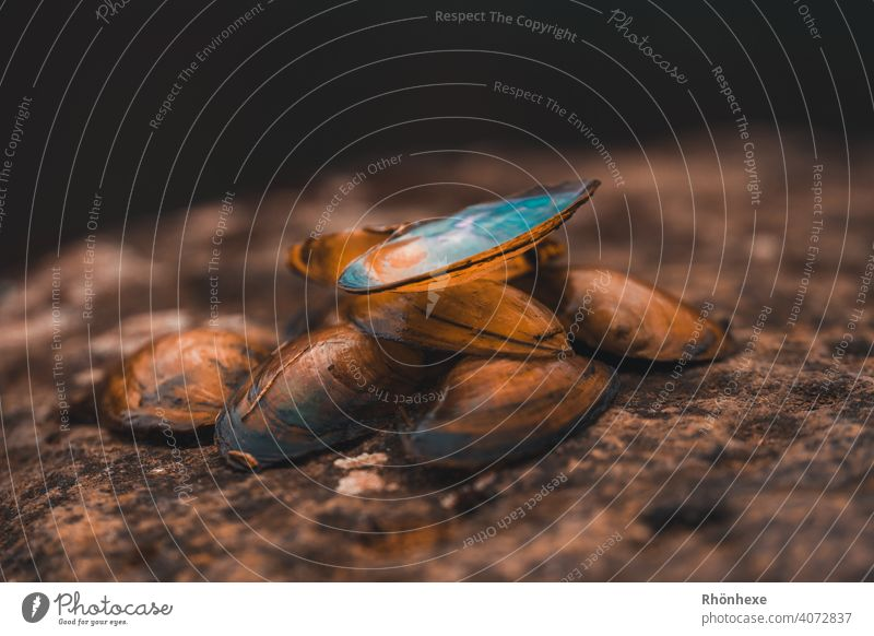 Empty mussel shells lying on a stone on the river bank seashells shell collect Colour photo Nature Deserted Mussel shell Exterior shot Close-up Shell Pearl Calm