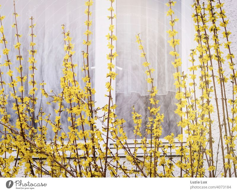 Forsythia in front of the window, behind it delicate white curtains Forsythia blossom forsythia Yellow Spring Delicate Bright Window White Curtain Drape Light