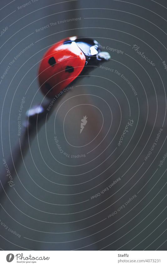 a crawling lucky charm has reached the top Ladybird Good luck charm messenger of happiness lucky beetle at the top Above Tall high up symbol of luck