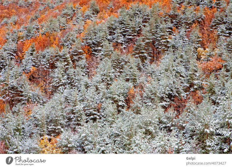 Nice snowy forest winter autumn chestnut pine background beautiful branches cold cool cover december freeze frost frosty horizontal january landscape light lush