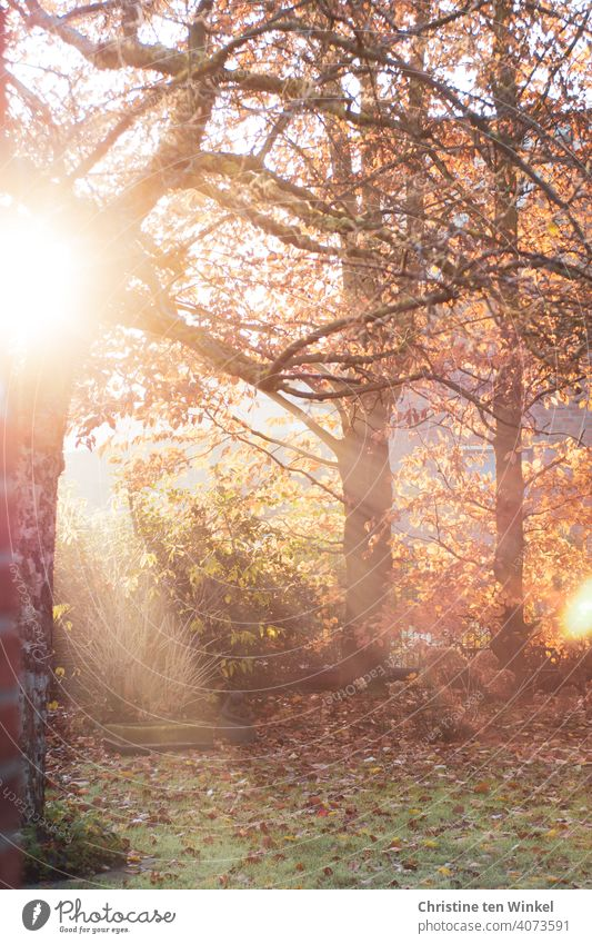 Morning idyll in the autumnal garden with the rays of the still low sun, an older apple tree and autumn leaves on the lawn Sunlight Autumn Garden morning idyll