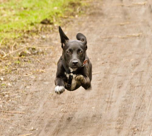 Cute black puppy runs and jumps head on towards the viewer friendship front adoption trained Ball face beautiful grass childhood pretty running friendly dark