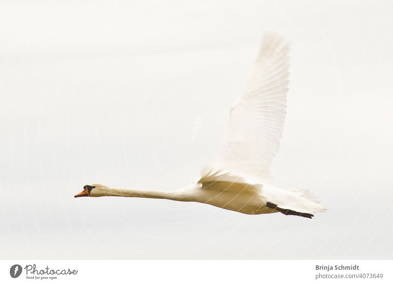 A majestic flying white swan in the air peaceful morning heavy soar pretty avian outdoor royal wilderness elegance Cygnus calm heaven sunny romance clouds jump