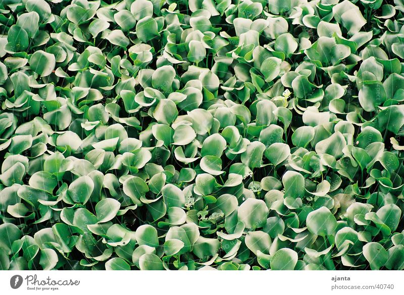carpet of aquatic plants Aquatic plant Green Carpet Leaf Flat normal lens Detail