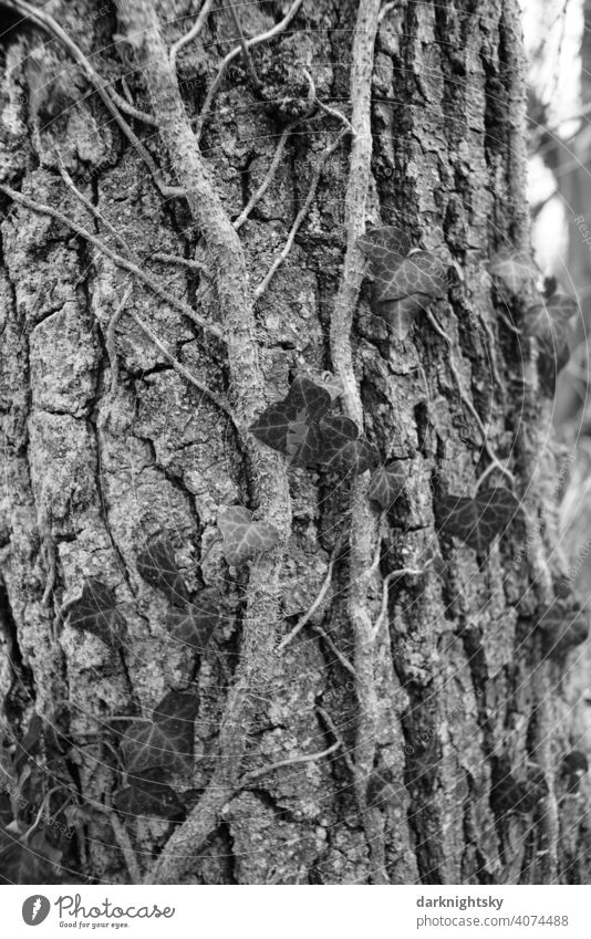 Ivy growing on a tree with rough bark in early spring Nature Tree Birch tree Environment Plant naturally Exterior shot Tree trunk Tree bark Wood Growth Leaf