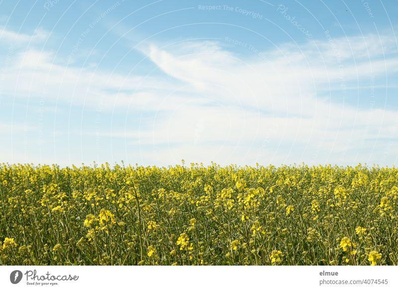 beginning rape blossom - rape field and blue sky with fair weather clouds / agriculture / farming Canola field Sky Deco Clouds Spring Oilseed rape flower