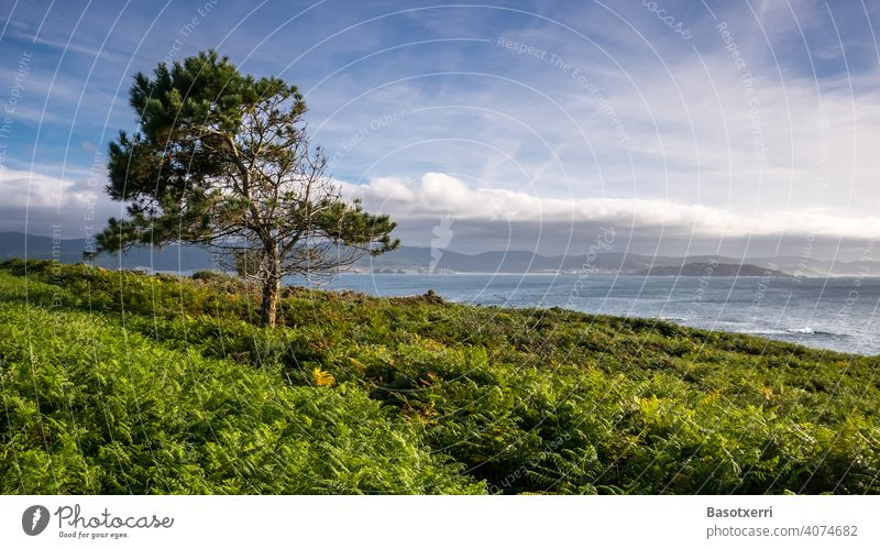 Landscape with pine trees at the Galician Atlantic coast. Punta Roncudo, Galicia, Spain Jawbone Tree Exterior shot Colour photo Nature Deserted Green Summer