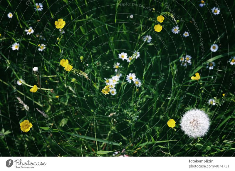 Meadow flowers from above meadow plants blossoms meadow flowers Blossoming Wild plant Sprout Dandelion Flower love Spring buttercup buttercups Daisy Plant