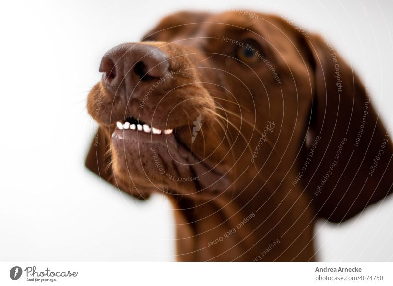 Dog shows his lower teeth Teeth Funny Vizsla observantly attention Hound Animal portrait Nose bokeh Colour photos Shallow depth of field white background Snout