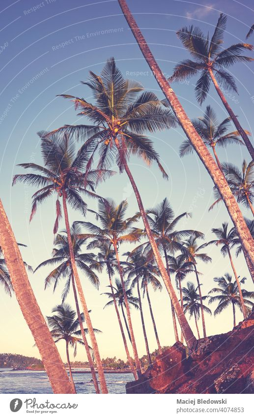 Coconut palm trees on the coast of Sri Lanka, color toned picture. coconut beach sea tropical paradise sky exotic vacation holidays nature sunset