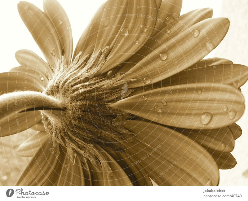 morning gift Flower Gerbera Blossom Blossom leave Rope Sepia