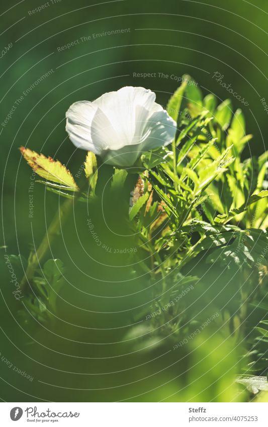 white flower surrounded by green leaves Flower white blossom Blossom petals Domestic September End of summer September weather flowering flower last sunny days