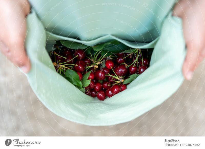 Young woman has fresh cherries on her apron. cherry juicy healthy food hand organic ripe vegetarian top view agriculture fruit girl nature natural green summer