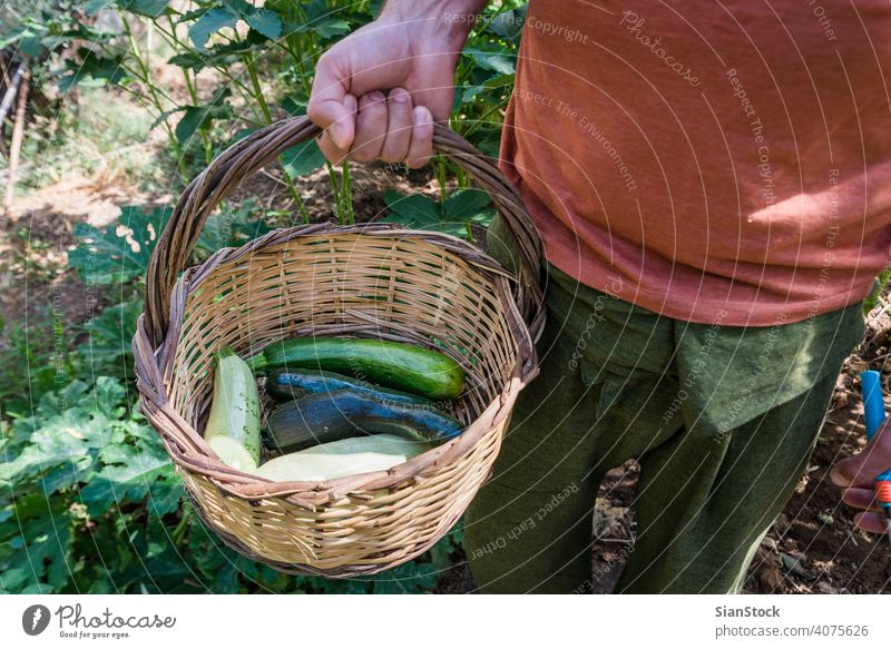 Man is holding a basket with zucchinis in his garden harvest summer fresh healthy food green organic squash vegan raw ingredient vegetarian agriculture plant