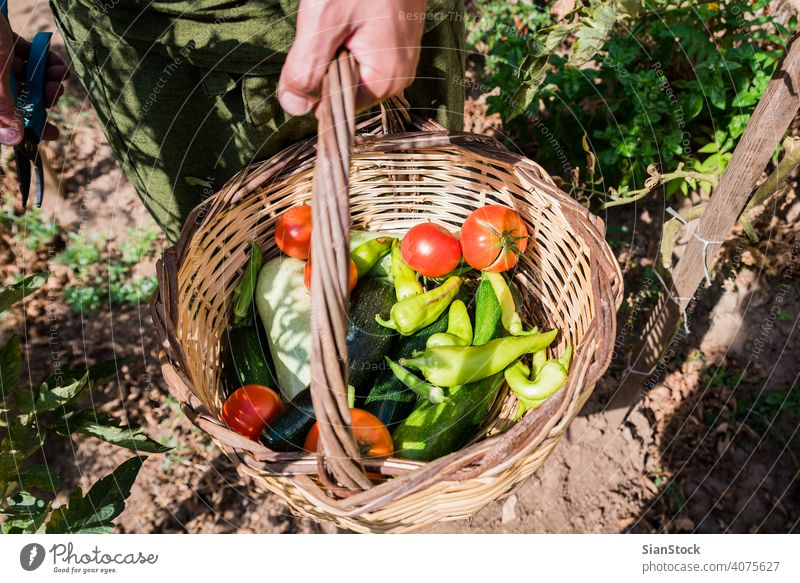 Man's hands harvesting fresh organic tomatoes in his garden farm gardening healthy food green agriculture summer plant zucchini peppers basket natural ripe