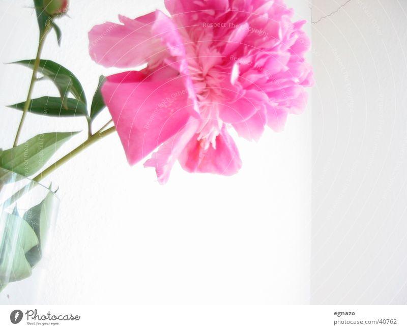 pink flower Flower Blossom Pink Close-up Contrast