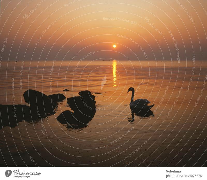 Swan at the Baltic Sea, evening Evening Sun animals Germany Sunset Water Cygnus olor Bird Animal romantic picturesque bank evening sky Sky cloud Clouds Romance