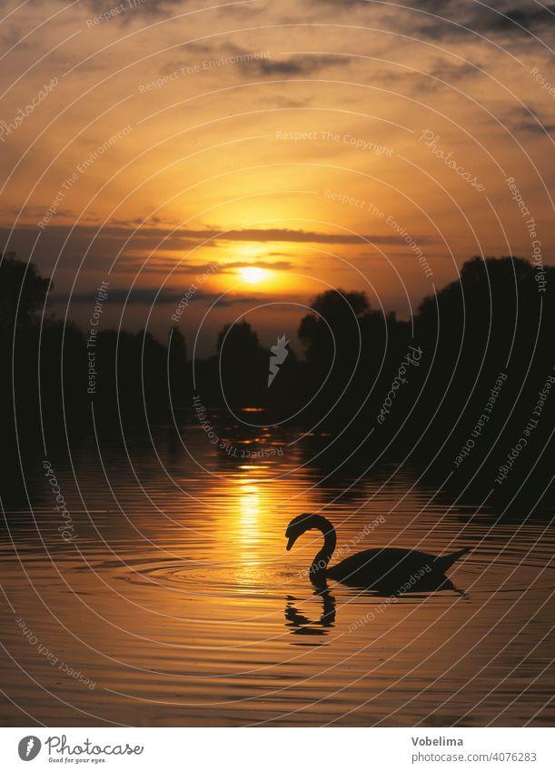 Swan on Lake Constance, evening Evening Sun animals Germany Sunset Water Cygnus olor Bird Animal romantic picturesque bank evening sky Sky cloud Clouds