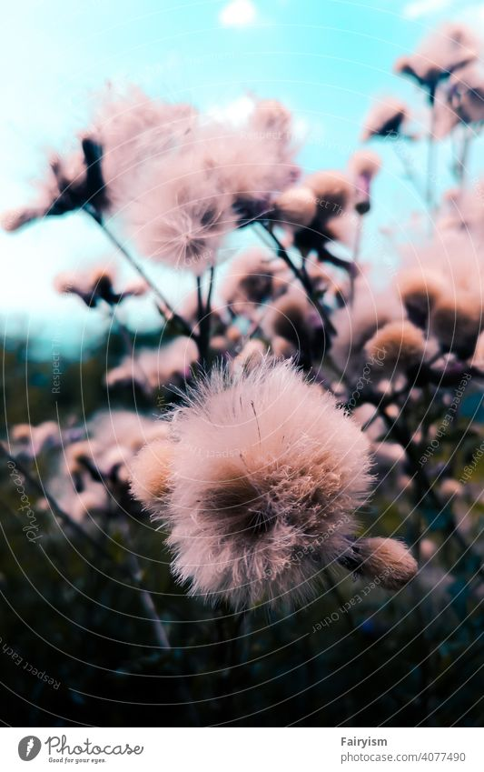 pastel colored fluffy plant Plant plants plant based Flower flowers Flower meadow Flowering plant Nature Nature photo nature park nature lovers Minimalistic
