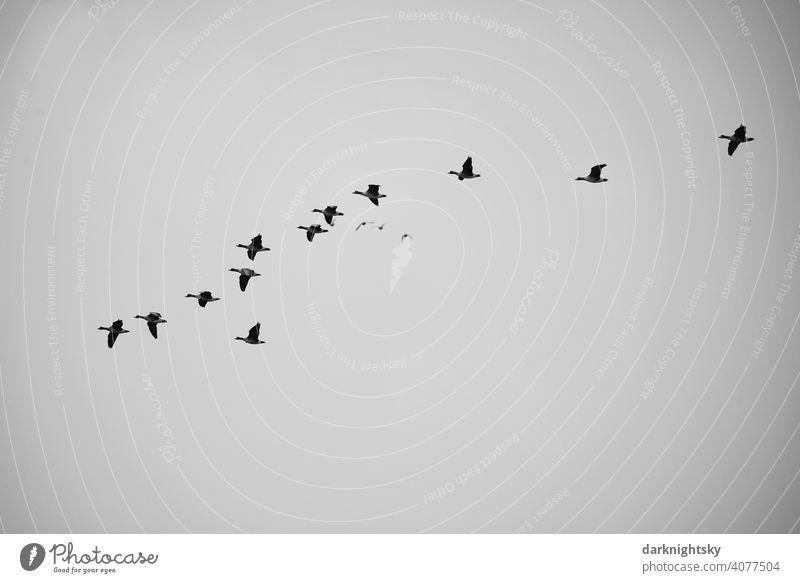 Wild geese migrating in V-shaped formation bird migration Avifauna observation Formation group voyage Migratory birds pulling Goose Flock Flock of birds Freedom