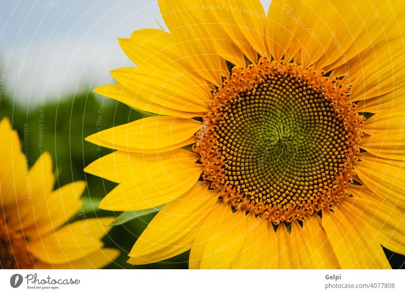 Pretty yellow sunflowers summer nature blossom floral field green agriculture beautiful background beauty plant blooming closeup bright pollen garden sunny leaf