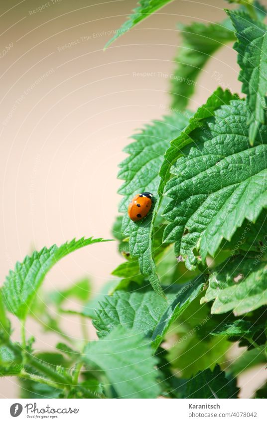A ladybug sits on a stinging nettle. Stinging nettle nettle tea Diet Blood circulation Detoxification dehydrating Eating food vitamins salubriously Healthy