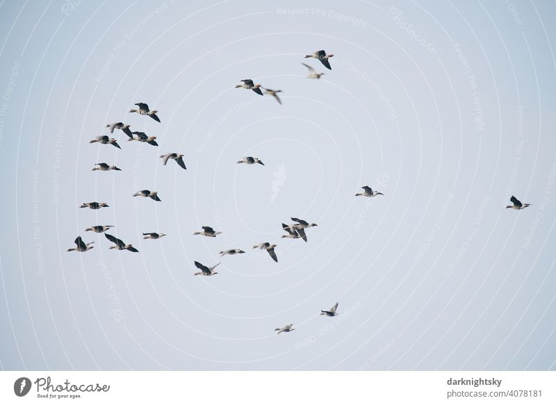 Wild geese migrating in V-shaped formation, Anser anser bird migration Avifauna observation Formation group voyage Migratory birds pulling Goose Flock