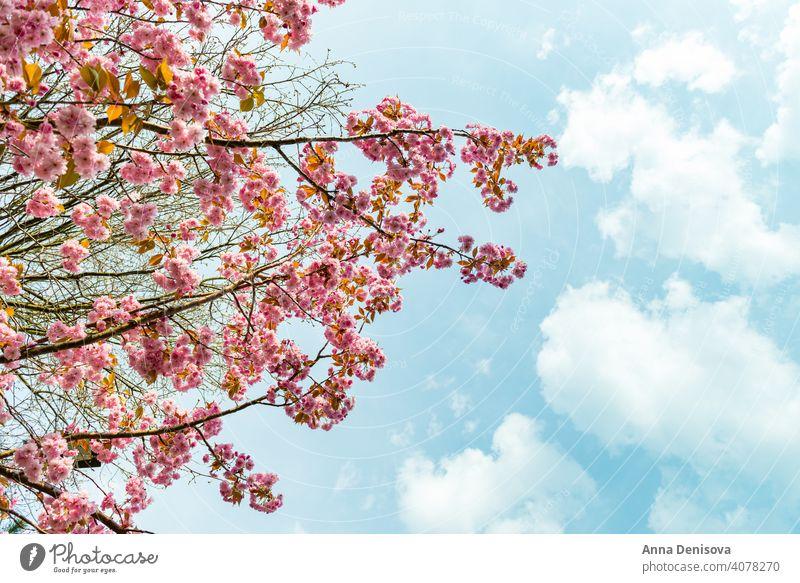 Beautiful Pink Sakura flowers, cherry blossom during springtime against blue sky sakura blooming garden natural outdoor pink japanese floral closeup nature