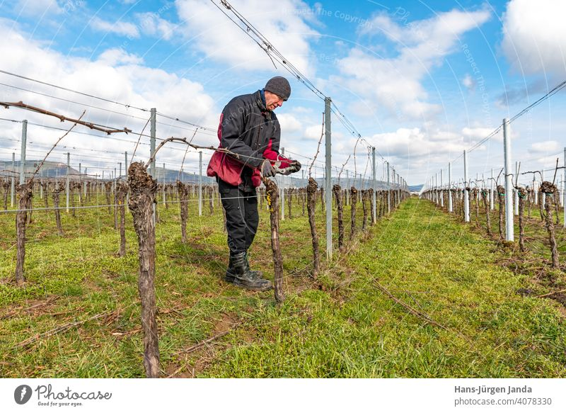 Young man tying vine branches in a vineyard in front of blue sky Man work Areas Agriculture Wine growing Farm Farm labor grapes Germany palatinate traditionally