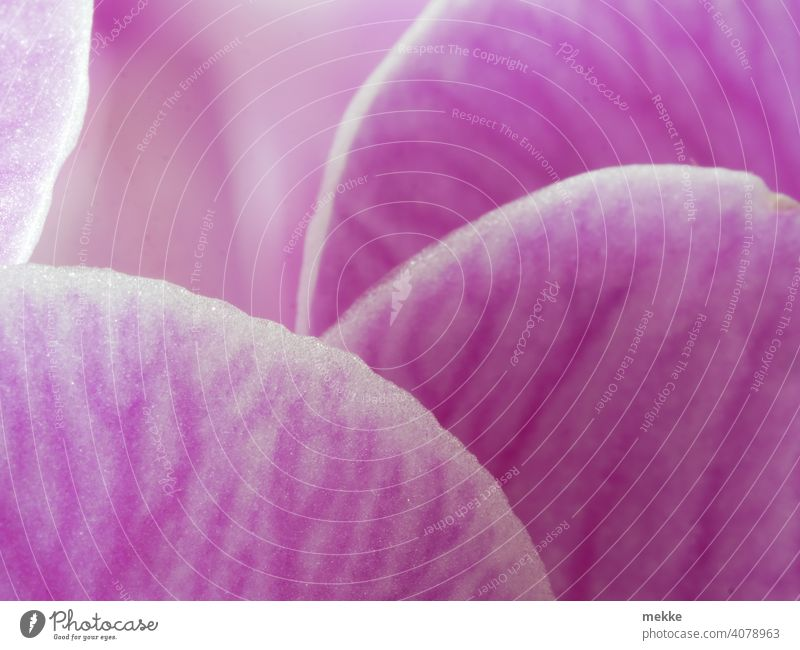 Petals of an orchid hide behind each other Orchid Blossom Blossom leave petals Macro (Extreme close-up) macro Pink Flower blossoms veins Round Close-up
