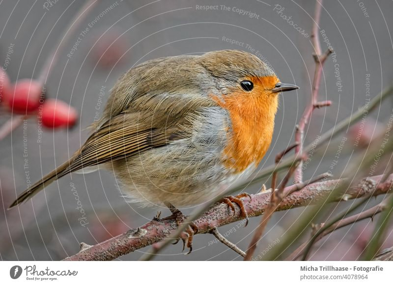 Puffed-up Robin Robin redbreast Erithacus rubecula Animal face Head Eyes Beak feathers plumage Legs Claw Grand piano Twigs and branches Bird Wild bird