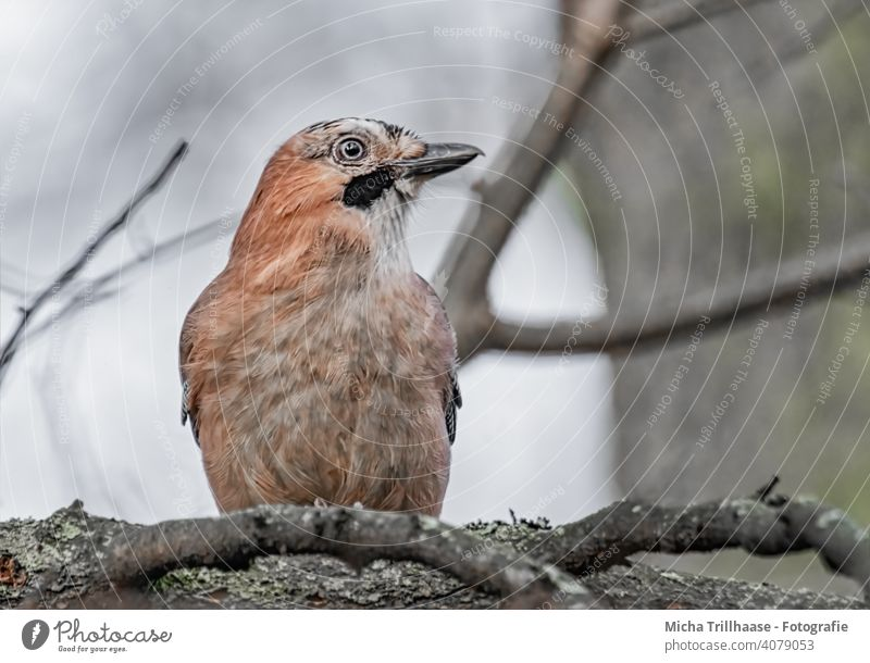 Jay in the tree Garrulus glandarius Animal face Head Beak Eyes Grand piano Feather Plumed Bird Tree Twigs and branches Looking Wild animal Nature Observe