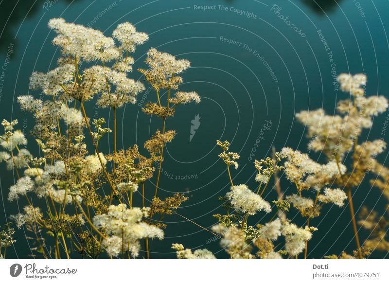 Meadowsweet maedesuess Nature photo Plant Blossom bank naturally Colour photo Exterior shot Shallow depth of field Environment Deserted Summer Pond Blossoming