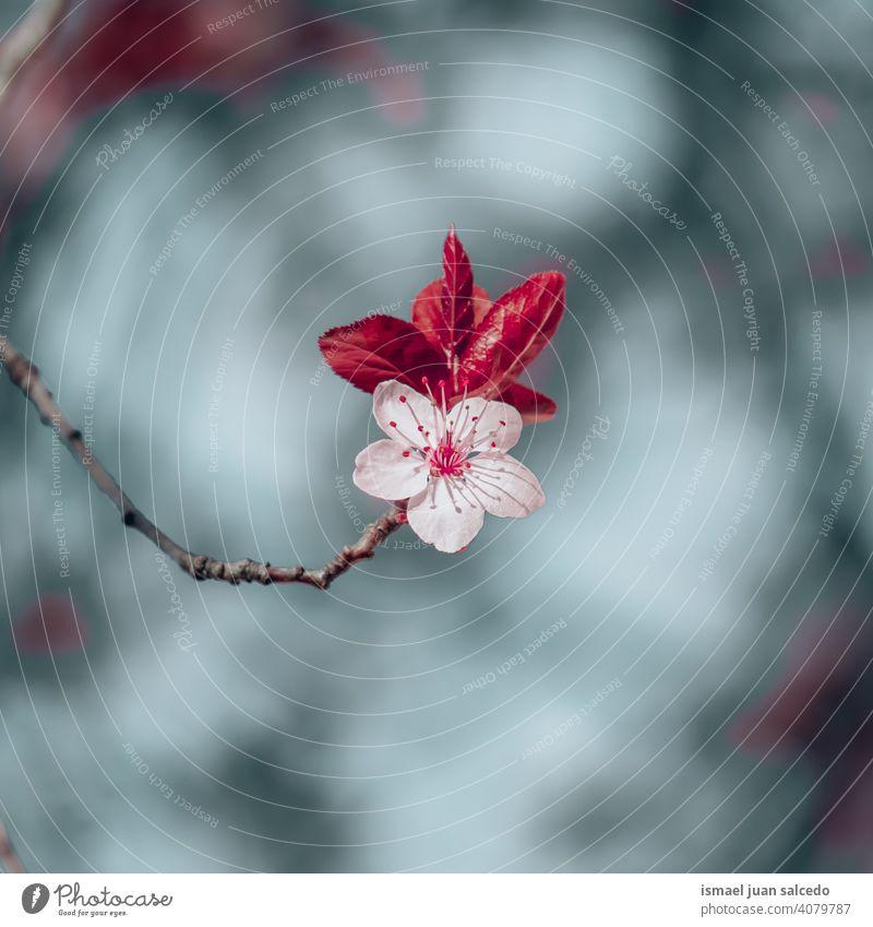 beautiful cherry blossom in springtime sakura flower cherry tree sakura tree pink petals floral nature natural decorative decoration romantic beauty fragility