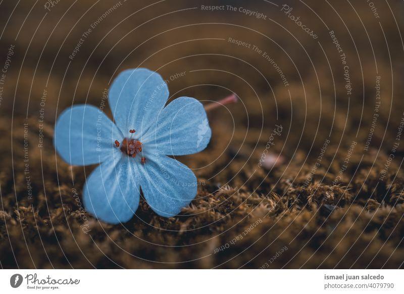 beautiful blue flower in spring season petals plant garden floral nature natural blossom decorative decoration romantic beauty fragility background springtime