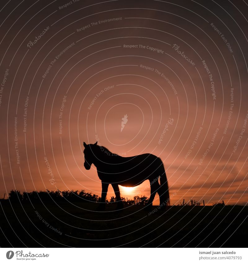 horse silhouette in the meadow with the sunset sunlight animal animal themes wild nature cute beauty elegant wild life wildlife rural rural scene field country