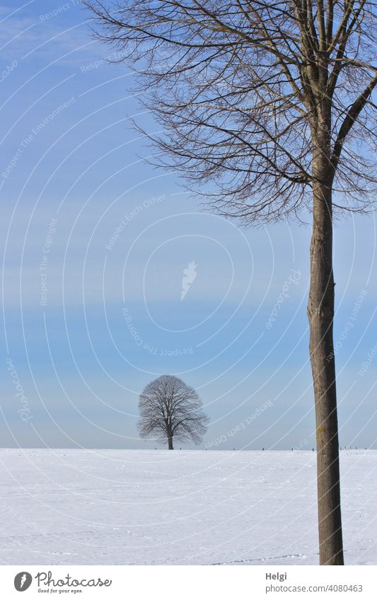 two trees in a winter landscape with blue sky Winter Tree Large Small Near afar Snow Blue sky Beautiful weather chill Tree trunk Bleak Cold Exterior shot Nature