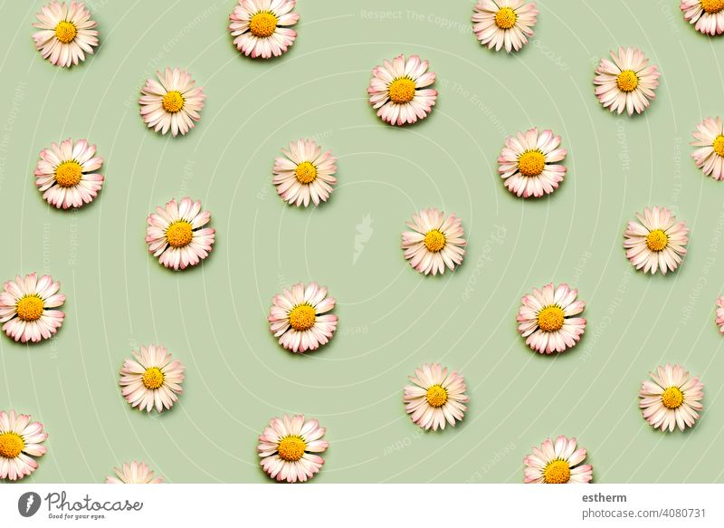 Top view of creative pattern made of white daisy flowers.Springtime concept spring allergy pollen allergies sickness rhinitis unwell bloom sneezing illness