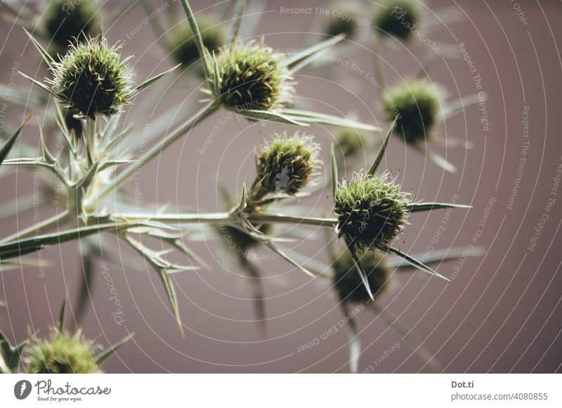 Field Man Litter Thistle Thistle blossom Eryngium campestre Plant Nature Colour photo Thorny Deserted Shallow depth of field Close-up Blossom Botany Green
