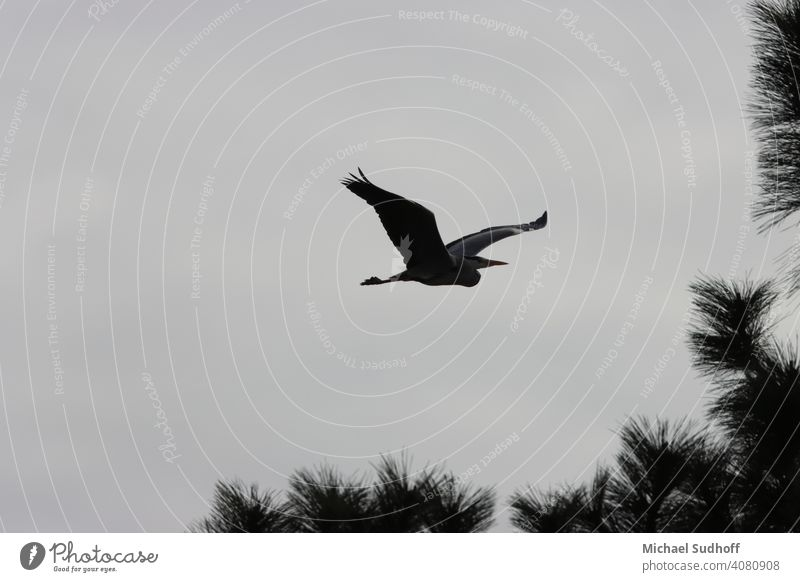 A grey heron just taken off the nest in search of building material, at dusk in mid-March. Beak Animal Nature Grand piano Bird Wild animal Sky Feather Flying