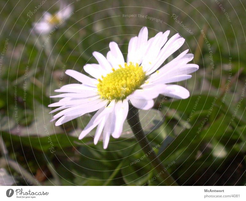 daisy Flower Plant Nature