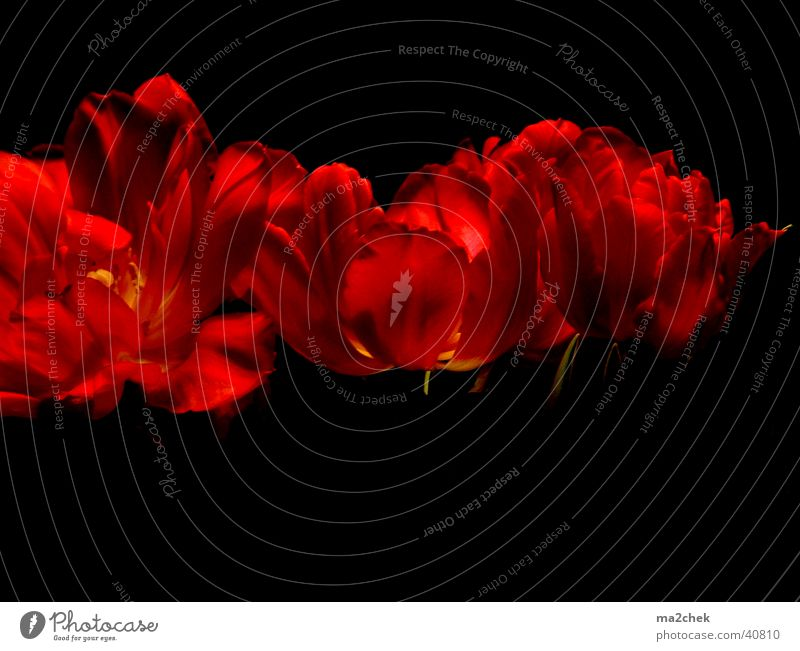 Flower Red Dark Tulip Photographic technology