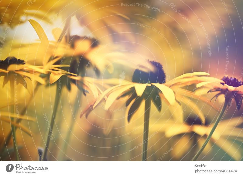 Summer feeling with yellow sun hat Yellow sun hat Rudbeckia rudbeckia fulgida Flowerbed Perennial bed common coneflower yellow flowers sea of blossoms