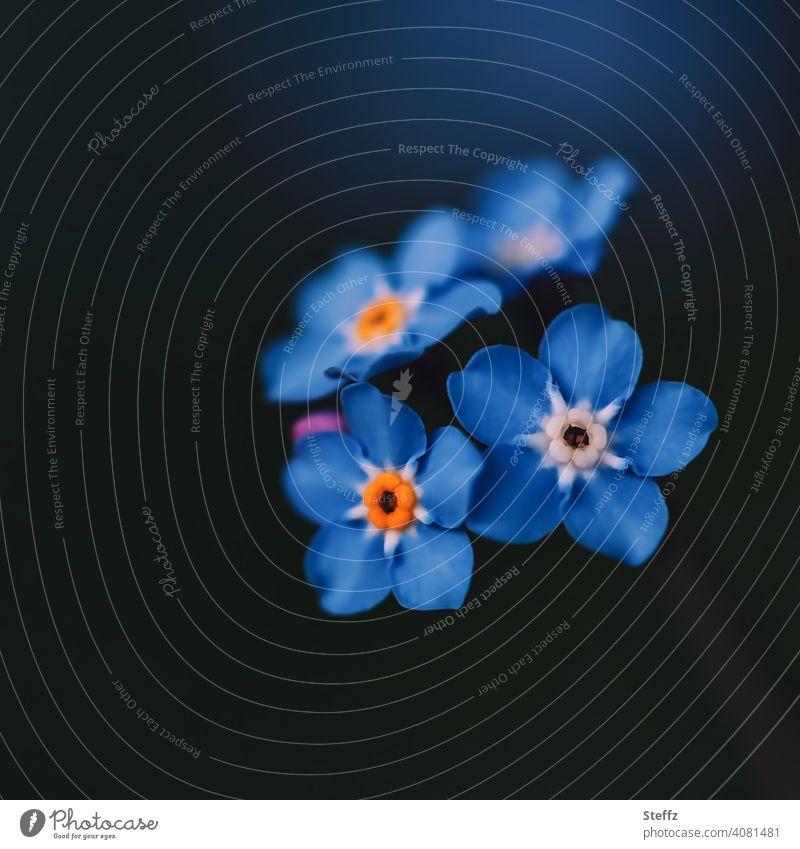 Forget-me-not in the shade Spring Flowering Myosotis spring flowers blue flowers heyday blooming spring flowers May romantic Romance spring garden Spring flower