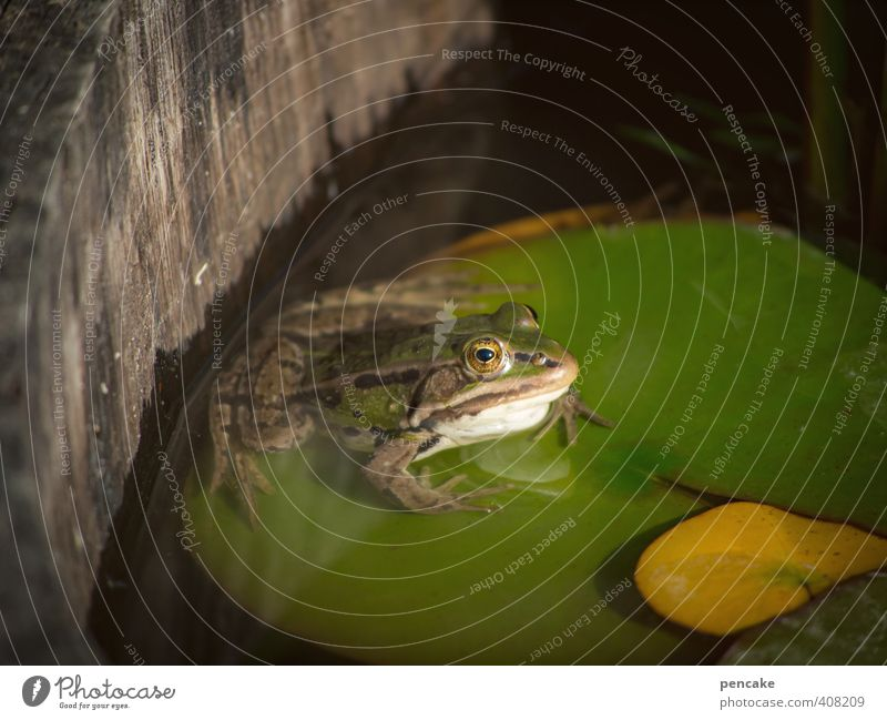 keep cool Nature Plant Animal Summer Wild animal Frog 1 Sign Cool (slang) Simple Fluid Cold Cute Slimy Green Water lily leaf Pond Wine cask Garden Fairy tale