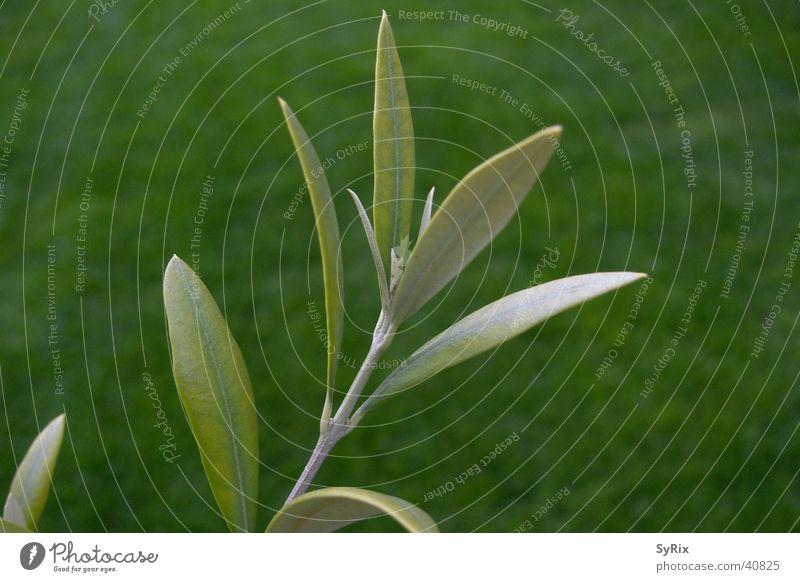 Tree Leaf Branch Twig Olive