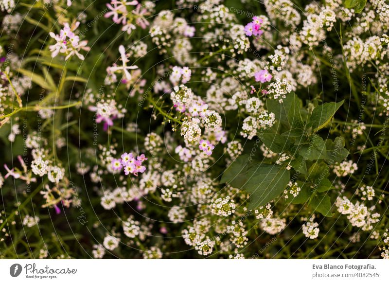 top view of a green and white plant with flowers. Spring or summer season. Nature meadow petal blooming flora bright grow sunshine park ground field wild flower