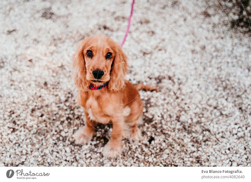 portrait of cute puppy cocker spaniel dog outdoors walk walking leash woman pet park sunny love hug smile kiss breed purebred young beautiful brown lifestyle
